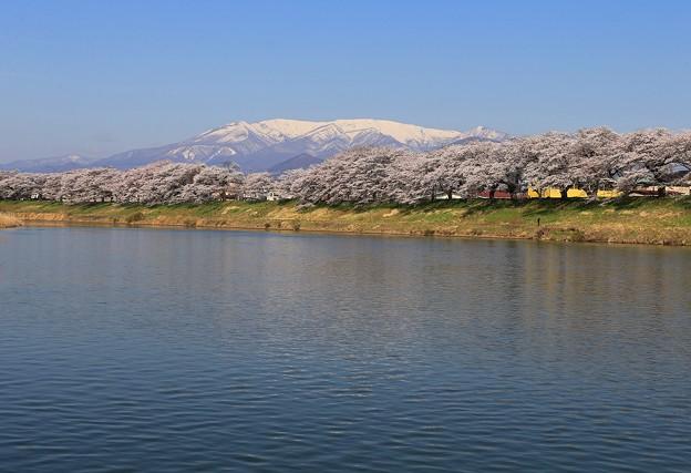 写真: 白石川の千本桜