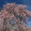 写真: 美 桜
