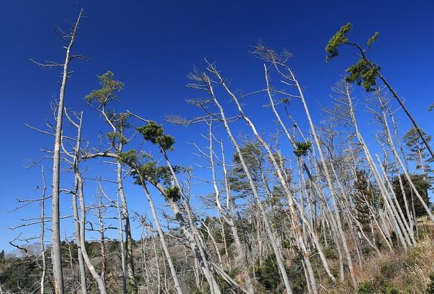 写真: 防風林の悲しさ