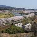 写真: 桜咲く宮城路
