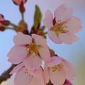 写真: 彼岸桜の美しさ