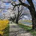 桜道歩けば