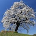 写真: 一本の美桜