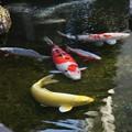 写真: 春を優雅に泳いで