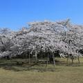 写真: さくらの巨木