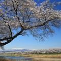 写真: うっとりする桜風景