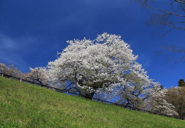 青葉山公園の桜