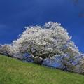 写真: 青葉山公園の桜