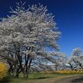 写真: 桜並木の回廊