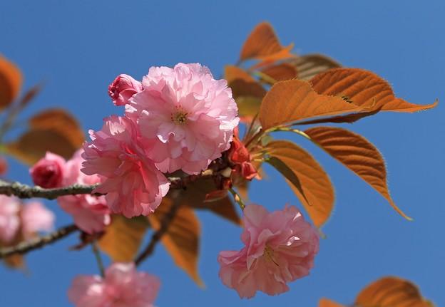 写真: 八重桜の美しさ