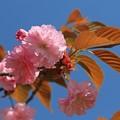 Photos: 八重桜の美しさ