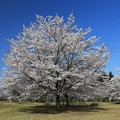 三神峯の桜