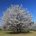 写真: 三神峯の桜