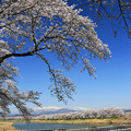写真: 美しい日本の桜