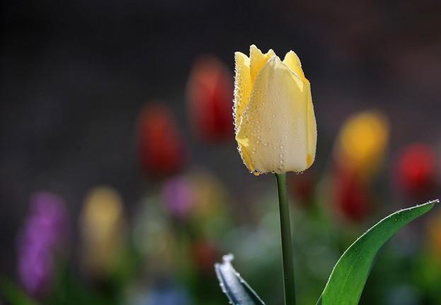 写真: 黄色いチューリップ
