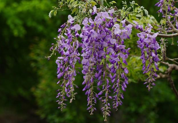 写真: 藤の花咲く季節