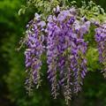 Photos: 藤の花咲く季節