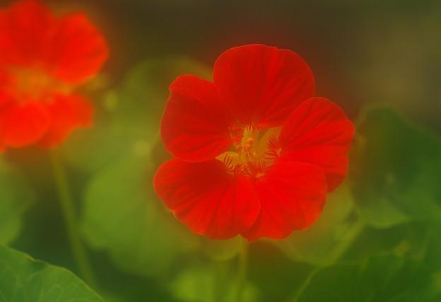 写真: ナスタチュウム・赤
