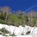 写真: ダケカンバの森