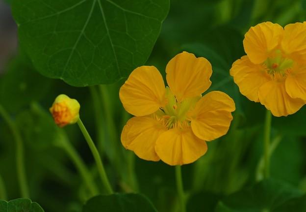 写真: ナスタチュウム・黄