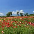 写真: ポピー畑の爽やかさ