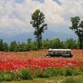 写真: ポピー畑の高原バス
