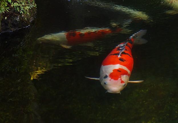 真夏の鯉(恋)物語