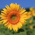 写真: 真夏を彩る太陽の花