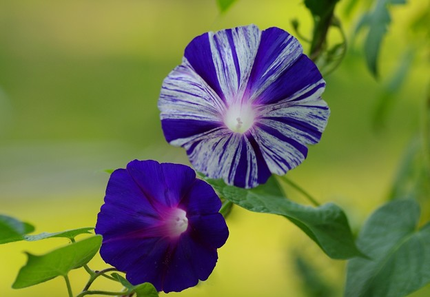 写真: 涼しげに咲く朝顔