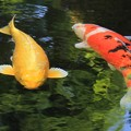 写真: 快活に泳ぐ錦鯉