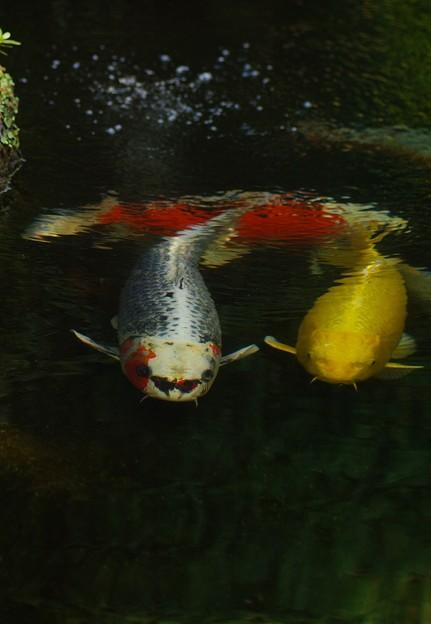 写真: 清水を泳ぐ錦鯉