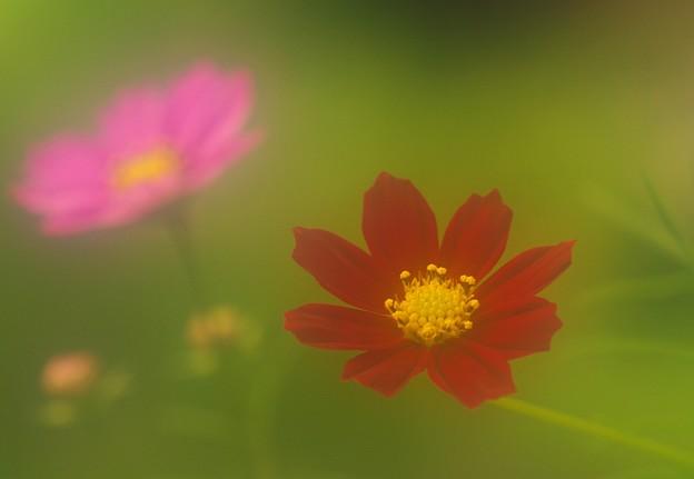 写真: 庭に咲いたコスモス