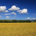 写真: 収穫間近の田んぼ