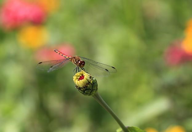 写真: お花畑のトンボ
