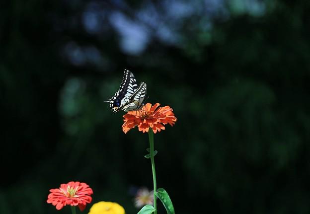 写真: 蝶の日々