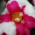 雪降る町の山茶花