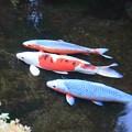 写真: 庭池の錦鯉