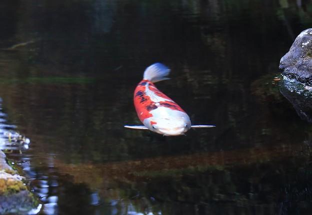 写真: 冷水泳ぐ錦鯉