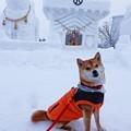写真: 雪国のワンちゃん