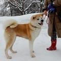 写真: 秋田犬