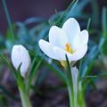 Photos: 春告げるクロッカス