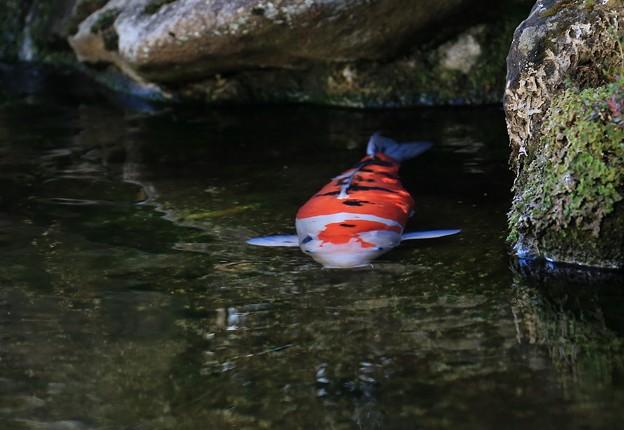 早春を泳ぐ錦鯉