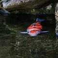 写真: 早春を泳ぐ錦鯉