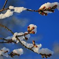 Photos: 雪 桜