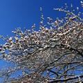 Photos: 満開の雪桜のように