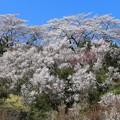 Photos: 桜咲く花見山