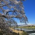 Photos: 白石川の桜絶景