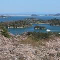Photos: 松島に桜咲く