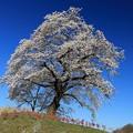 Photos: 里の一本桜