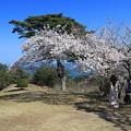 桜咲く松島